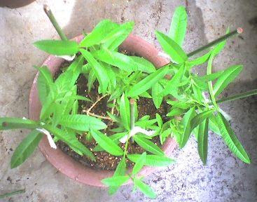 1089 1-2009_0531そえ木