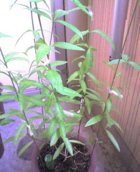 1110 1-2009_0726収穫前