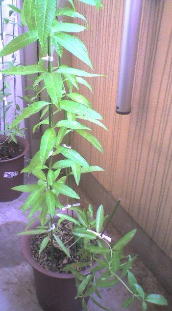 1116 3-2009_0726収穫前