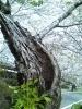 洞のできたソメイヨシノの大木