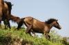 都井の岬の野生馬