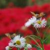 ハルジオンの蜜を吸うベニシジミ