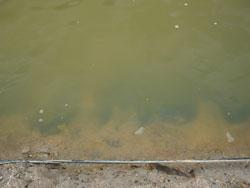 エビ池の色4月11日