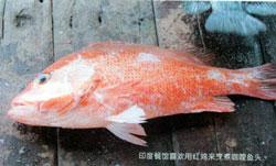 Red Snapper成魚