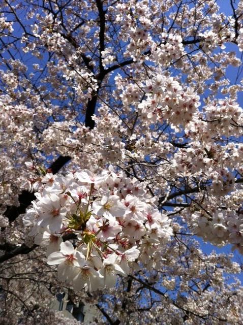 20120408_桜満開
