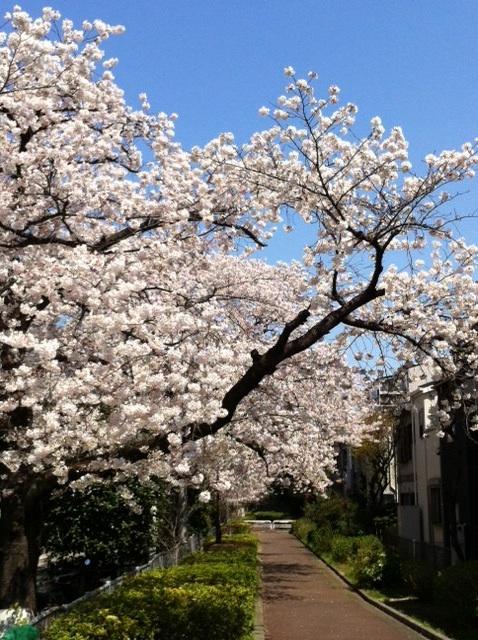 20120408_桜満開2