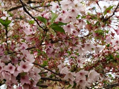 門司の桜道01