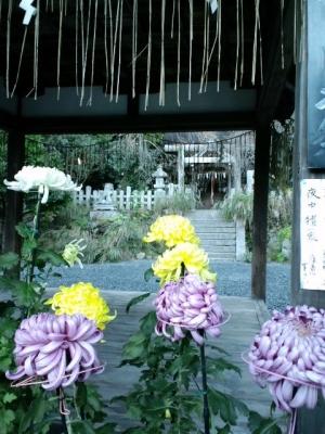 大豊神社のみごとな菊その【2】11月11日