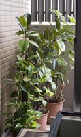 アボガドの鉢植え