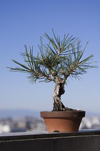 錦松の養成木
