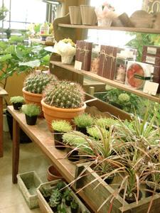 シャンドゥラローズ 多肉植物