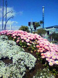 シーパラお花