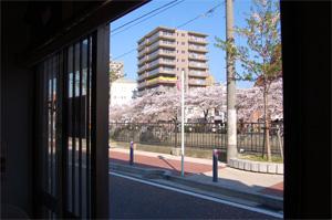 マイノリカウンターからの桜