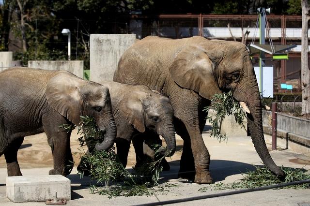 アフリカゾウの砥夢くん3歳誕生会の予定