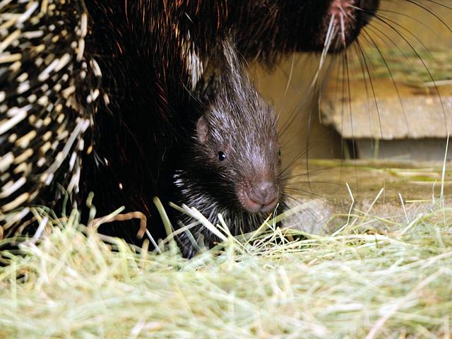 とべ動物園のアフリカタテガミヤマアラシの赤ちゃんの写真