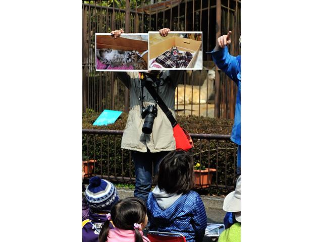 とべ動物園の自転車紙芝居にて、ピューマの赤ちゃん公開イベントの紹介がありました。