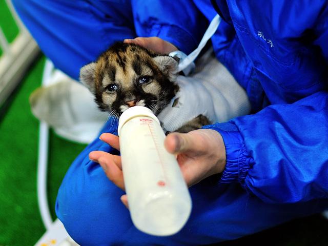 潤んだ瞳でミルクを飲むピューマの赤ちゃん