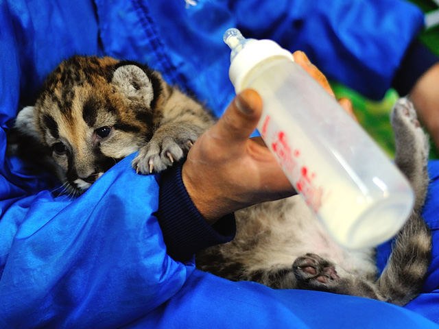 ミルクを飲む途中で休憩しているピューマの赤ちゃん