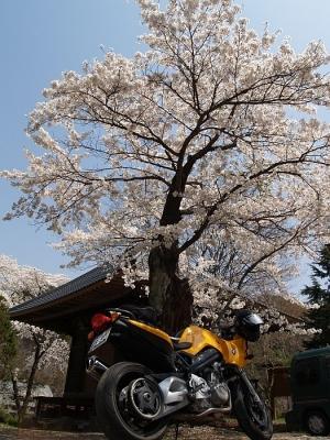 利根町の桜