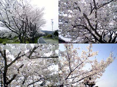 The cherry-blossom front came through in Japan.