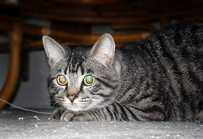 我が家のやんちゃ猫、銀ちゃん・・・めでたく満1歳!