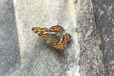 05.16 5月の水窪の蝶 3.jpg