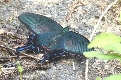05.16 5月の水窪の蝶 5.jpg