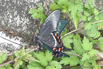 05.16 5月の水窪の蝶 6.jpg