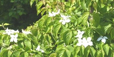 05.01 庭の初夏の木の花 1.jpg