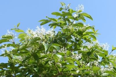 05.01 庭の初夏の木の花 5.jpg