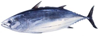 katsuwo