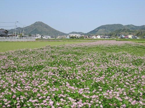 関村のれんげ畑