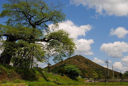 新緑の椋の木