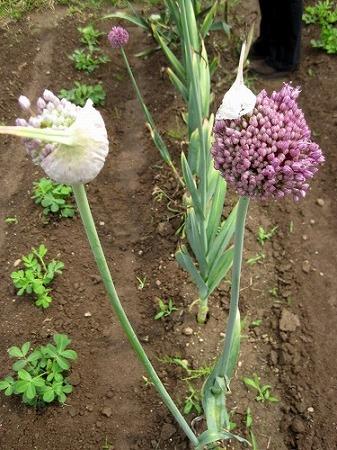 にんにくの花(トウ)のかおり