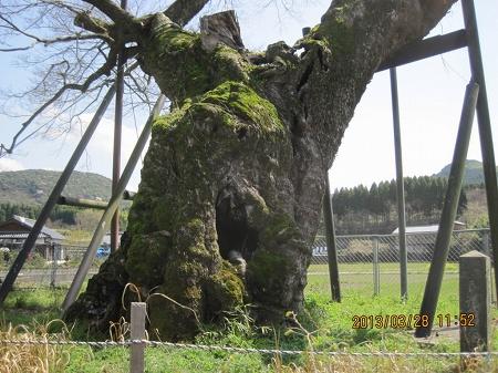 椋の木の幹