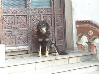 ボリビアの犬01