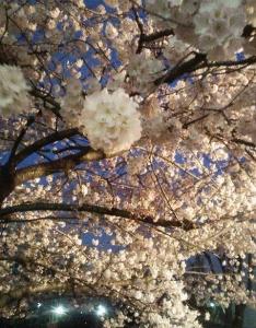 27日の桜