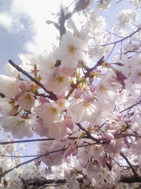 桜(近撮)