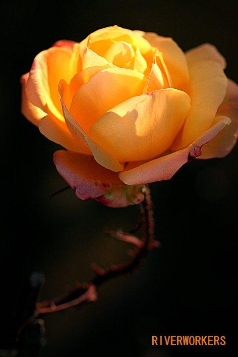 幸せの黄色い薔薇
