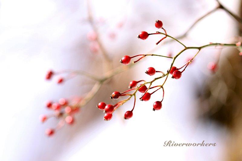 野バラの実