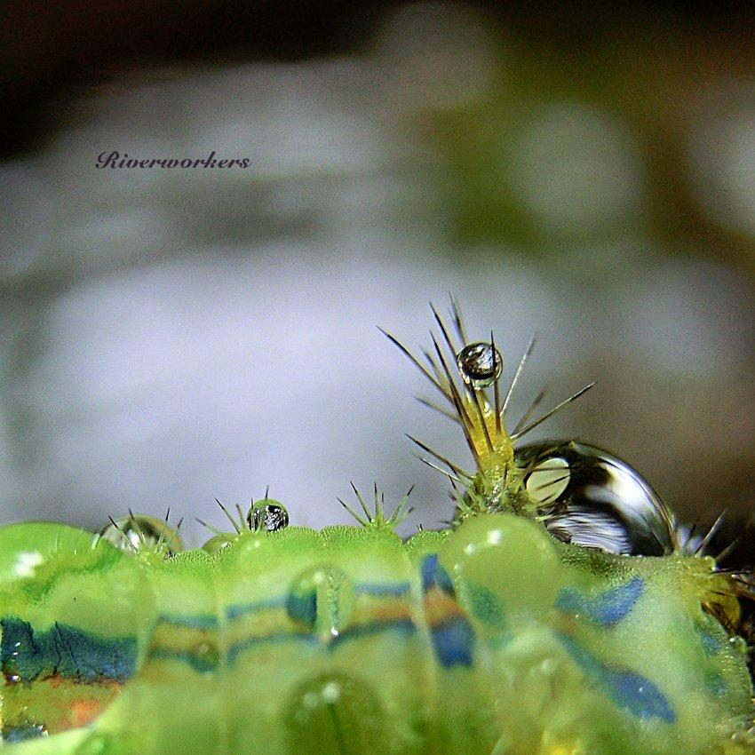 イラガ幼虫