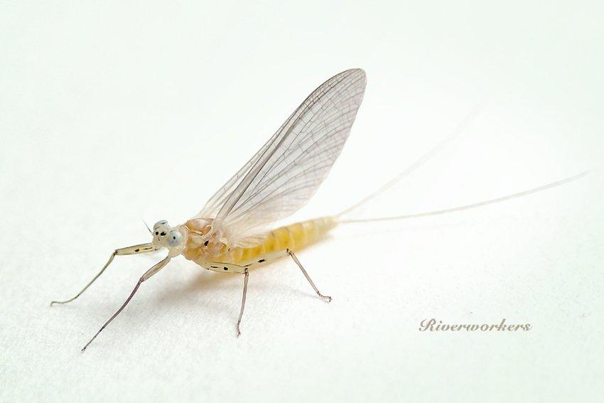 ヒメヒラタカゲロウの1種♀