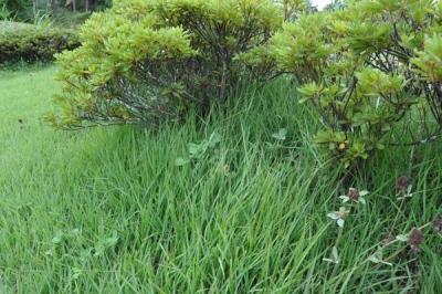 つつじの下の草刈