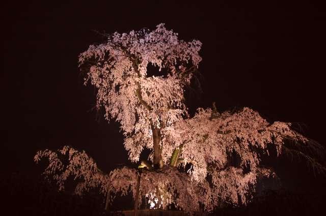 円山公園の桜(夜)