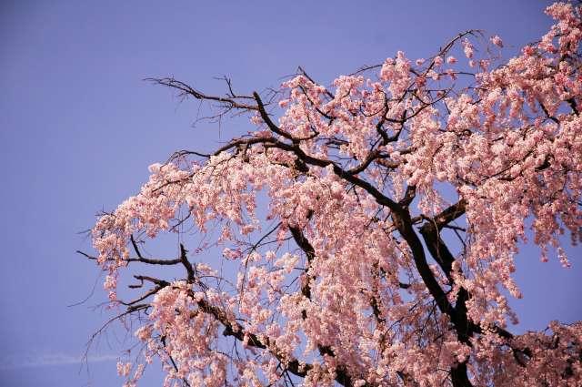円山公園の桜(昼)
