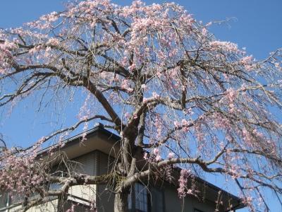 樹齢40年の枝垂れさくら