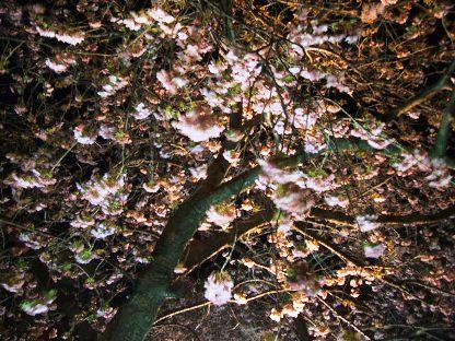 河津夜桜1