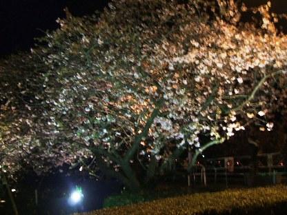 河津夜桜2