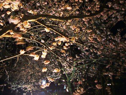 河津夜桜4