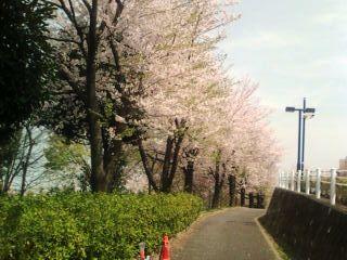 都筑区牛ヶ谷公園桜〜2